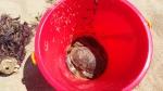 One biggish 'dead' crab!