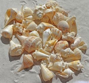 sea-shells-1235586_640